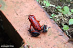 Strawberry poison-dart frog (Oophaga pumilio) [costa_rica_siquirres_0059]
