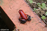 Strawberry poison-dart frog (Oophaga pumilio) [costa_rica_siquirres_0060]