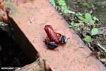 Strawberry poison-dart frog (Oophaga pumilio) [costa_rica_siquirres_0061]
