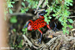 Strawberry poison-dart frog (Oophaga pumilio) [costa_rica_siquirres_0062]