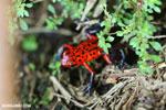 Strawberry poison-dart frog (Oophaga pumilio) [costa_rica_siquirres_0062]