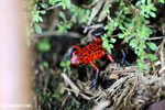 Strawberry poison-dart frog (Oophaga pumilio) [costa_rica_siquirres_0063]