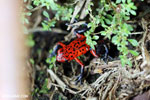 Strawberry poison-dart frog (Oophaga pumilio) [costa_rica_siquirres_0064]