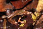 Warszewitsch's frog (Rana warszewitschii)