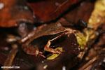 Warszewitsch's frog (Rana warszewitschii) [costa_rica_siquirres_0083]