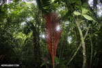Red palm fron [costa_rica_siquirres_0095]