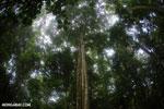 Siquirres rainforest tree [costa_rica_siquirres_0098]