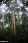 Siquirres rainforest [costa_rica_siquirres_0103]