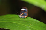 Glasswinged butterfly (Greta oto) [costa_rica_siquirres_0134]