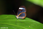 Glasswing butterfly (Greta oto) [costa_rica_siquirres_0139]