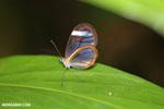Glasswing butterfly (Greta oto) [costa_rica_siquirres_0143]