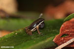 Rainforest rocket frog (Silverstoneia flotator)