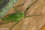 Green Katydid [costa_rica_siquirres_0152]