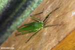 Green Katydid [costa_rica_siquirres_0153]