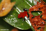 Strawberry poison-dart frog (Oophaga pumilio) [costa_rica_siquirres_0158]