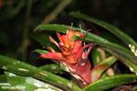 Bromeliad [costa_rica_siquirres_0159]