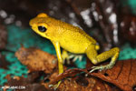 Yellow form of the Granular Poison Dart Frog (Oophaga granuliferus)