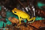Yellow Granular Poison Dart Frog (Oophaga granuliferus)