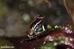 Lovely poison arrow frog (Phyllobates lugubris)