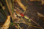 Strawberry poison-dart frog (Oophaga pumilio) [costa_rica_siquirres_0171]