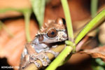 Spiny-headed tree frog (Anotheca spinosa) [costa_rica_siquirres_0190]