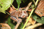 Crowned tree frog (Anotheca spinosa) [costa_rica_siquirres_0195]