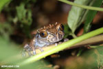 Spiny-headed tree frog (Anotheca spinosa) [costa_rica_siquirres_0203]