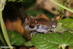 Spiny-headed tree frog (Anotheca spinosa) [costa_rica_siquirres_0208]