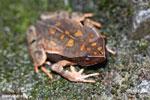 Rhaebo haematiticus frog [costa_rica_siquirres_0209]