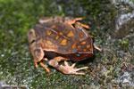 Rhaebo haematiticus frog [costa_rica_siquirres_0211]