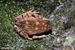 Rhaebo haematiticus frog [costa_rica_siquirres_0214]