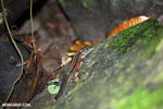 Lizard [costa_rica_siquirres_0224]