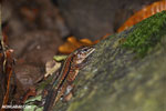 Lizard [costa_rica_siquirres_0225]