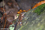 Lizard [costa_rica_siquirres_0226]