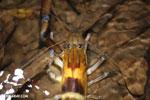 Crayfish [costa_rica_siquirres_0237]