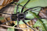 Spider [costa_rica_siquirres_0274]