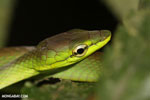 Snake [costa_rica_siquirres_0290]