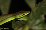 Snake [costa_rica_siquirres_0293]