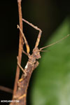 Stick insect [costa_rica_siquirres_0310]