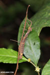 Stick insect [costa_rica_siquirres_0311]