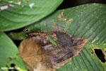 Katydid [costa_rica_siquirres_0317]