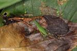Katydid [costa_rica_siquirres_0318]