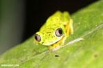 Lemur tree frog (Hylomantis lemur) [costa_rica_siquirres_0348]