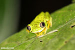 Lemur tree frog (Hylomantis lemur) [costa_rica_siquirres_0351]