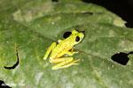 Lemur tree frog (Hylomantis lemur) [costa_rica_siquirres_0363]