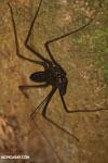 Whip-scorpion [costa_rica_siquirres_0382]