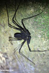 Whip-scorpion [costa_rica_siquirres_0384]