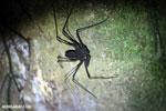 Whip-scorpion [costa_rica_siquirres_0385]