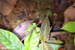 Stick insect [costa_rica_siquirres_0393]