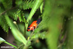 Strawberry dart frog [costa_rica_siquirres_0400]